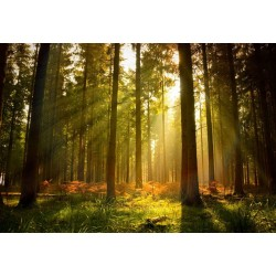 Forest Trees Beam Light Nature